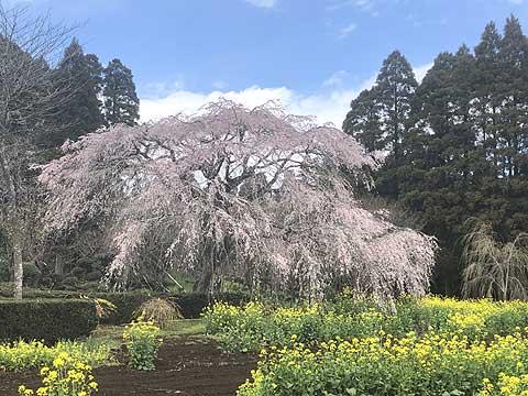 野呂町-枝垂れ桜