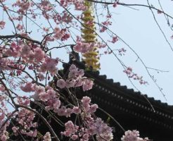 三重塔と桜