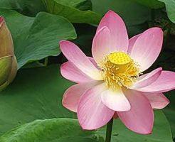 仏教における蓮の花