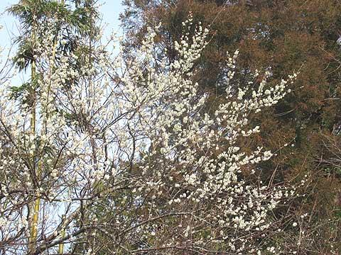 梅が咲き出した