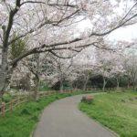 桜の花見で厄払い