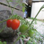 平和な収穫-ミニトマト